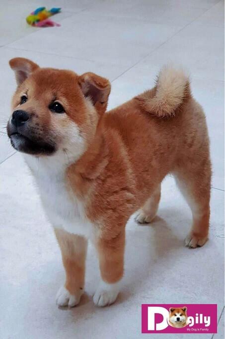 Chó Shishu Shiba có bộ lông màu đỏ đậm và hơi nhỏ hơn hai người anh em của mình là Mino Shiba và San'in Shiba