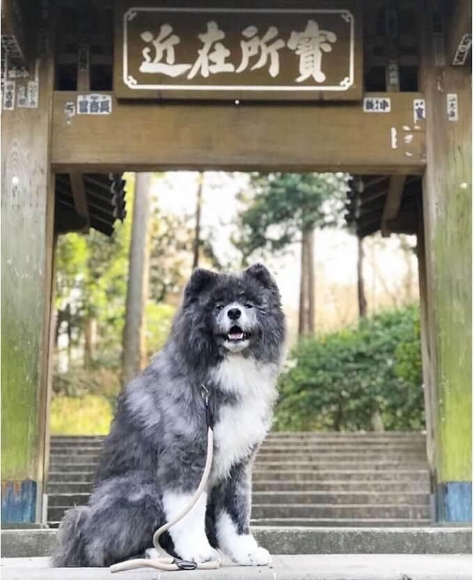 Chú chó Akita lông xù màu vện Nanami cực kỳ nổi tiếng tại quê hương Nhật Bản