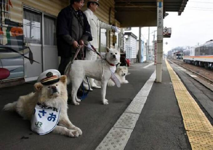 Chú chó akita lông xù trắng Wasao nổi tiếng. Chú là diễn viên trong bộ phim cùng tên về cuộc đời mình đồng thời kiêm thêm nhiệm vụ một trưởng ga tàu