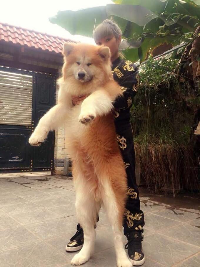 Chú chó akita lông xù Songoku. Có lẽ là chú chó akita lông xù đầu tiên được nhập về Việt Nam