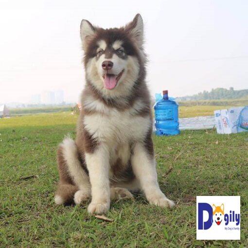 Chó Alaska thuần chủng có bốn chân to lớn và chắc khỏe.