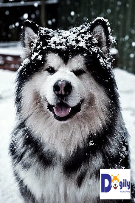 Tại Việt nam chó Alaska màu đen trắng thường có giá rẻ nhất. Màu đắt nhất và được ưa chuộng nhất là màu nâu đỏ