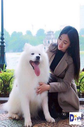 Hình ảnh chú chó Samoyed Ogon nhập khẩu Liên bang Nga. Bé hiện đang ở cùng anh Đỗ Trọng Khánh, một người nổi tiếng trong giới chơi chó kéo xe tại Việt Nam