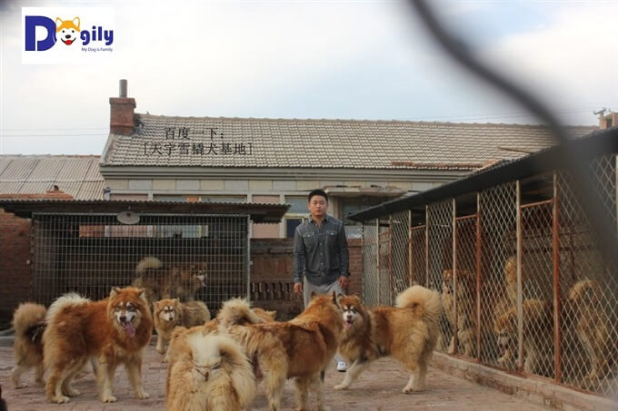 Hình ảnh một trại nuôi chó Alaska kiểu công nghiệp tại Trung Quốc. Nhiểu thương lái Việt Nam vì lợi nhuận nhập khẩu hàng trăm chó Alaska mẹ và con về Việt Nam để tiêu thụ ra thị trường mà không cần quan tâm đến bệnh tật, chất lượng chó con. Giá chó alaska con nhập Trung Quốc rất rẻ. Chỉ khoảng 5-7 triệu đồng/bé. Bằng 1/2 so với giá chó Alaska sinh sản trong nước.