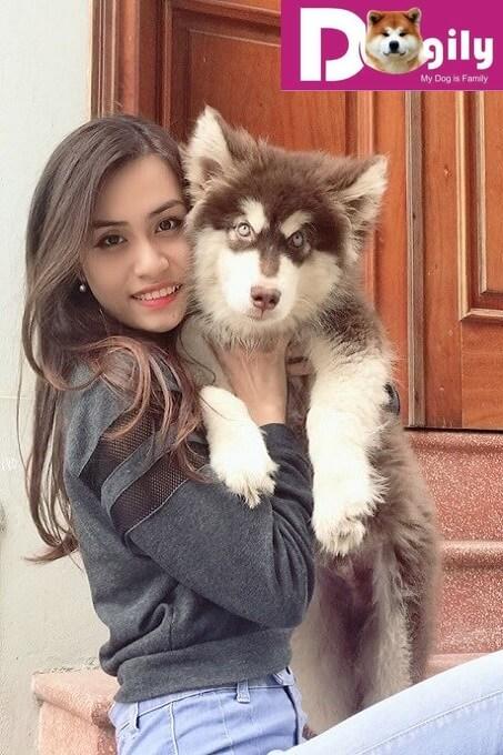 Chó Alaska thuần chủng là gì? Cách phân biệt so với chó Alaska lai tạp giá rẻ