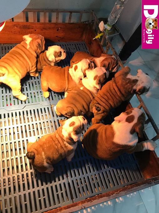Giấy tờ mua bán chó Bulldog đầy đủ gồm: Giấy VKA, hợp đồng mua bán, sổ tiêm chủng, giấy bảo hành, hướng dẫn chăm sóc chó con