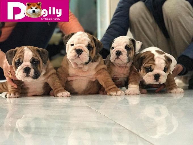 Bạn có thể đặt mua chó Bulldog Online, điện thoại hoặc mua trực tiếp tại hệ thống Dogily Petshop Hà Nội, Tphcm hoặc tại trang trại Dogily Kennel