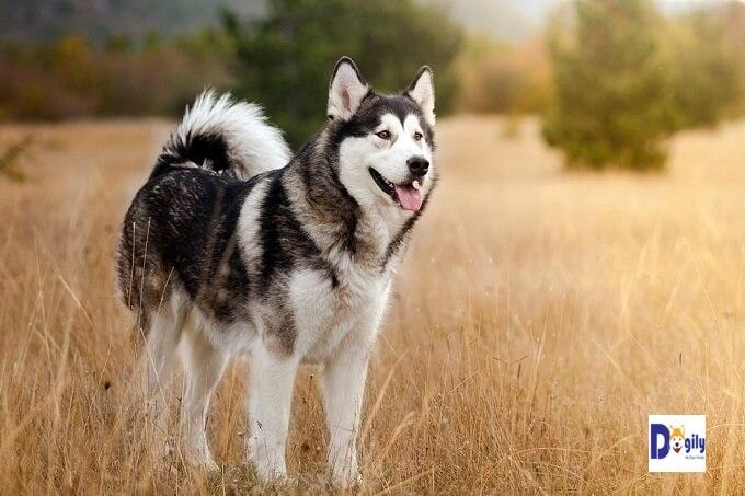 Nguồn gốc là yếu tố ảnh hưởng quan trọng nhất đến giá bán chó Alaska Malamute