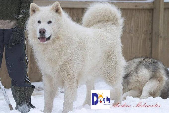 Hình ảnh một chú chó Alaska Malamute màu trắng tuyết cực hiếm. Giá bán chó Alaska màu trắng thường cao hơn các màu khác rất nhiều
