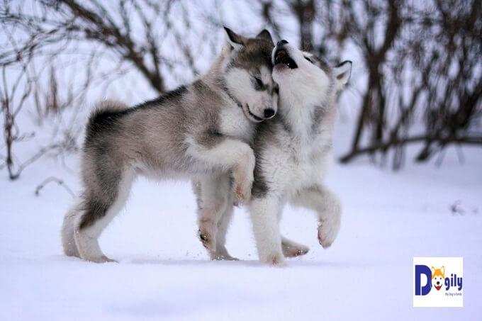 Chó alaska nhập châu Âu về Việt Nam lý tưởng ở độ tuổi 3-6 tháng. Do còn nhỏ chi phí vận chuyển thấp. Đồng nghĩa giá thành nhập khẩu chó alaska sẽ rẻ hơn so với nhập chó trưởng thành