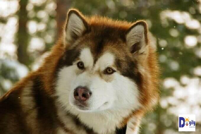 Bạn nên lựa chọn đơn vị uy tín để order chó Alaska nhập khẩu. Có rất nhiều rủi ro khi nhập chó về Việt nam như sức khỏe trên đường, thủ tục giấy tờ, thanh toán, uy tín của trại châu Âu, Thái Lan