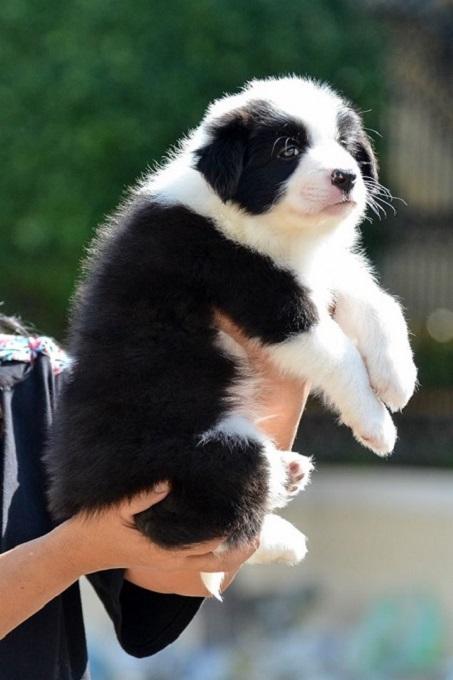 Trong nhiều năm qua, chúng tôi đã bán hàng trăm chú chó Border Collie con đẹp, thuần chủng đến các gia đình khắp mọi miền đất nước. Từ Hà Nội, Sài Gòn, Đà Nẵng, Cần Thơ, Quảng Ninh, Hải Phòng cho đến Cà Mau.