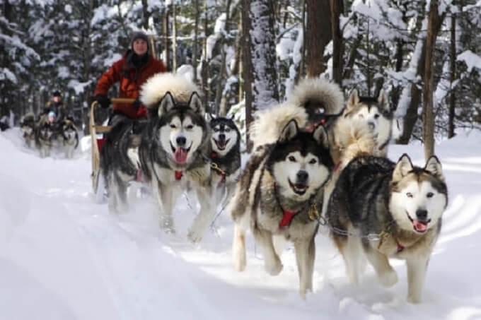 Trong lịch sử, chó alaska malamute chủ yếu được sử dụng để kéo xe trượt tuyết