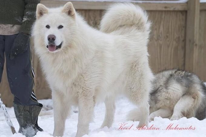 Một em cún alaska trắng cực quý hiếm...Màu trắng là màu đơn sắc duy nhất ở chó alaska