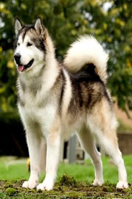 Chó alaska xám trắng với vóc dáng cực chuẩn