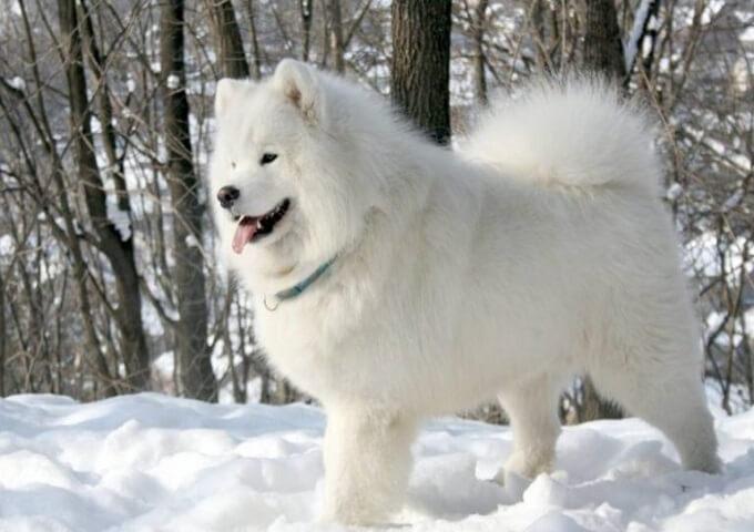 Chó Samoyed. kinh nghiệm mua bán chó samoyed tại tphcm và hà nội