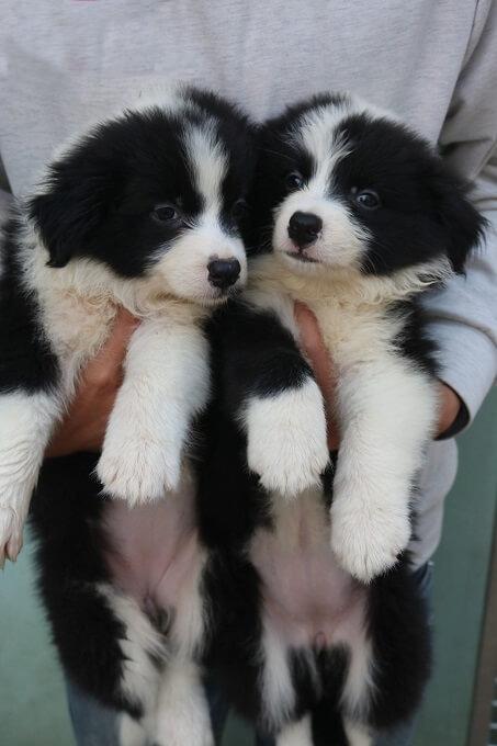Hai chú chó Collie con màu đen trắng 2 tháng tuổi sinh tại Việt Nam.