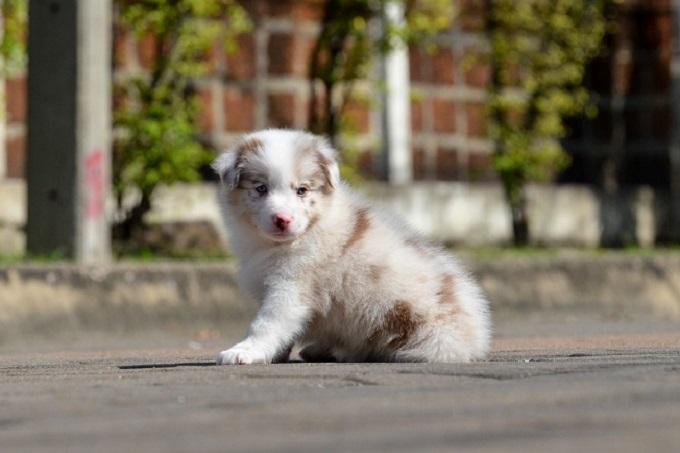 Một chú chó Border Collie con màu Lilac Meler 2 tháng tuổi bán tại Dogily Pet Shop Ba Tháng Hai, quận 10, Tp HCM.
