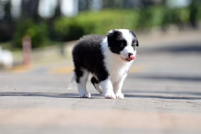 Bạn nên nuôi chó Collie con từ nhỏ (2-4 tháng tuổi). Sẽ giúp tăng sự gắn kết giữa bạn và cún cưng. Cũng như dễ dạy dỗ, huấn luyện hơn so với chó trưởng thành.