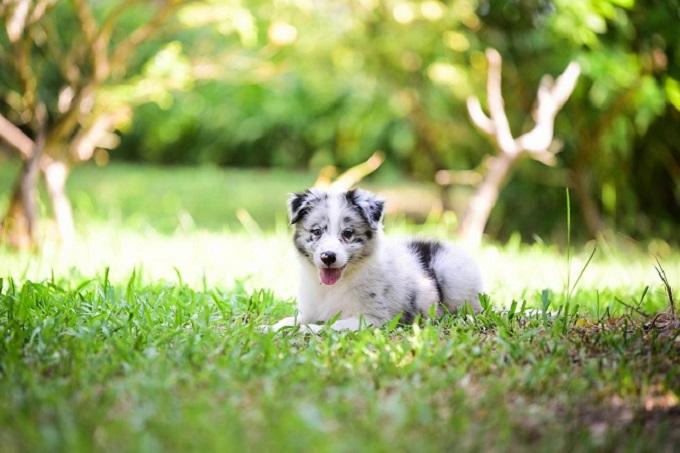 Chó Border Collie màu Blue Meler đang bán tại Dogily Pet Shop giá khoảng 14-16 triệu 1 con.