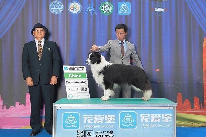 Chó Collie giống của Trung Quốc rất chất lượng và thường đạt các giải cao tại các Dogshow quốc tế.