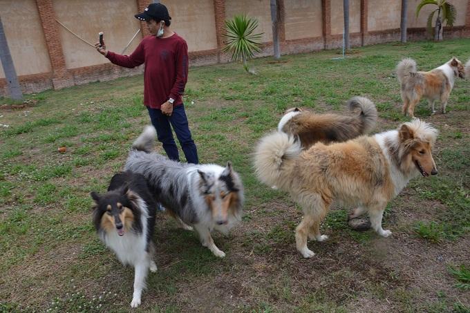 Hình ảnh trong một trại chó Mini Collie (Rough) lông dài tại Thái Lan.