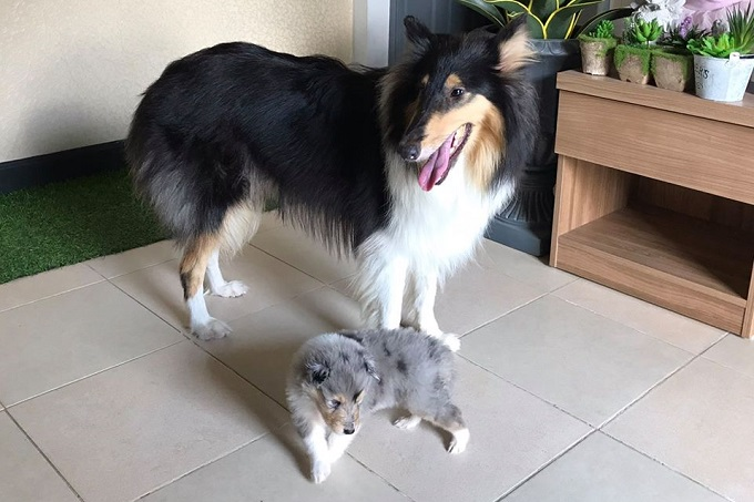 Hai mẹ con chó Rough Mini Collie lông dài.