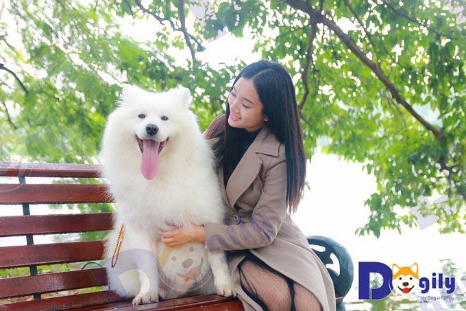 Chó Samoyed tại Hồ Gươm, Hà Nội.