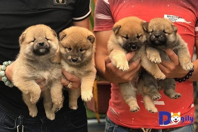 Mua bán chó Shiba inu hợp đồng rõ ràng. Giấy tờ kèm theo gồm giấy VKA, sổ tiêm chủng, giấy bảo hành và hướng dẫn chăm sóc chó con.