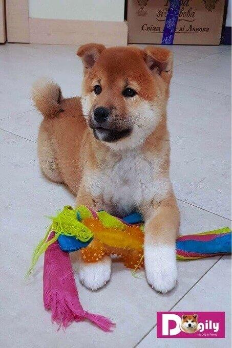 Một chú chó Shiba Inu thuần chủng được Dogily Kennel nhập khẩu và bán cho một hoa hậu Việt Nam.