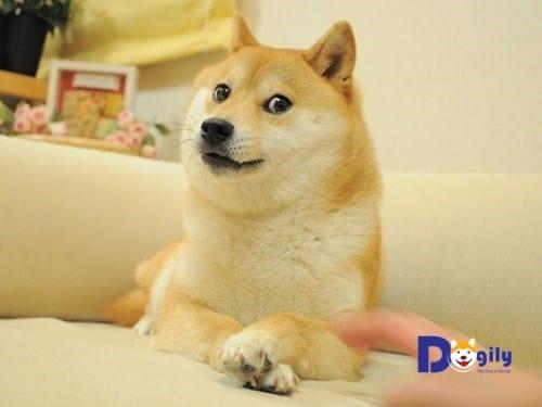 Bức ảnh siêu biểu cảm của chú chó Shiba Inu đã gây bão  và tạo ra một trend meme toàn cầu trên internet.