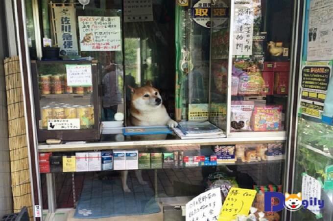 Hình ảnh chú chó Shiba Inu đang bán hàng tại hiệu tạp hóa Suzuki