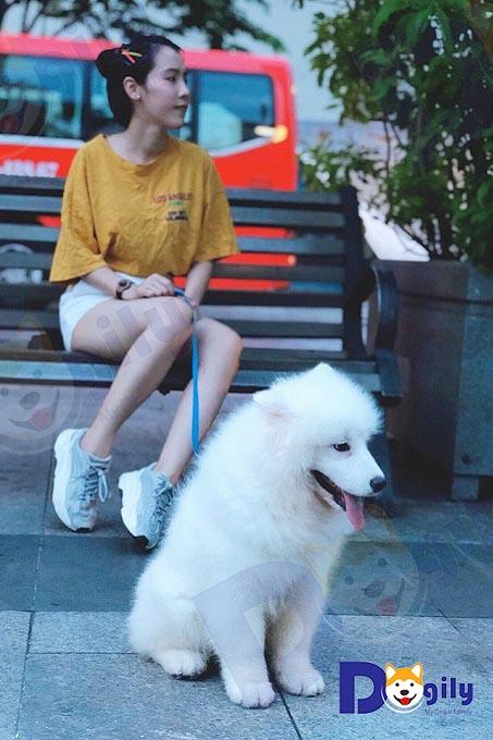 Chó Samoyed rất ngoan và vâng lời chủ. Ảnh: Chị Thanh Thảo, khách hàng mua chó Samoyed của Dogily Petshop cùng cún cưng dạo phố Sài Gòn.