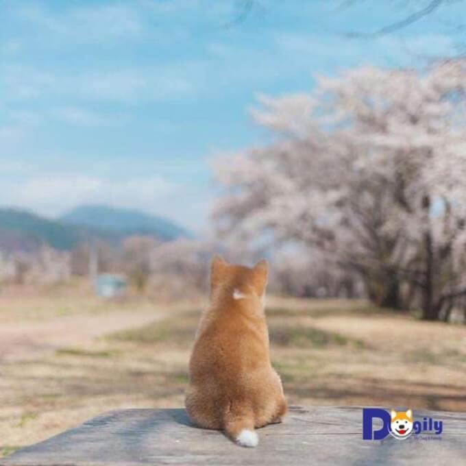 Trong lịch sử, giống chó Shiba Inu từng có nhiều lần đối mặt với nguy cơ tuyệt chủng.