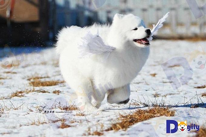Samoyed: Thiên thần tuyết trắng nước Nga.