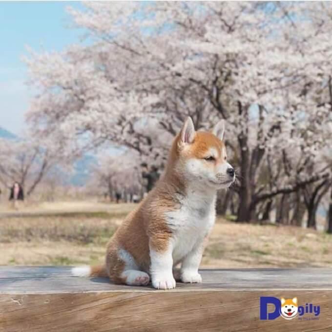Tên gọi chó Shiba Inu trong tiếng Nhật có nghĩa là chó trong bụi cây nhỏ. Hình minh họa trên bạn có thể thấy kích thước của một em Shiba Inu 3 tháng tuổi. Rất nhỏ nhắn và xinh xắn, đáng yêu.