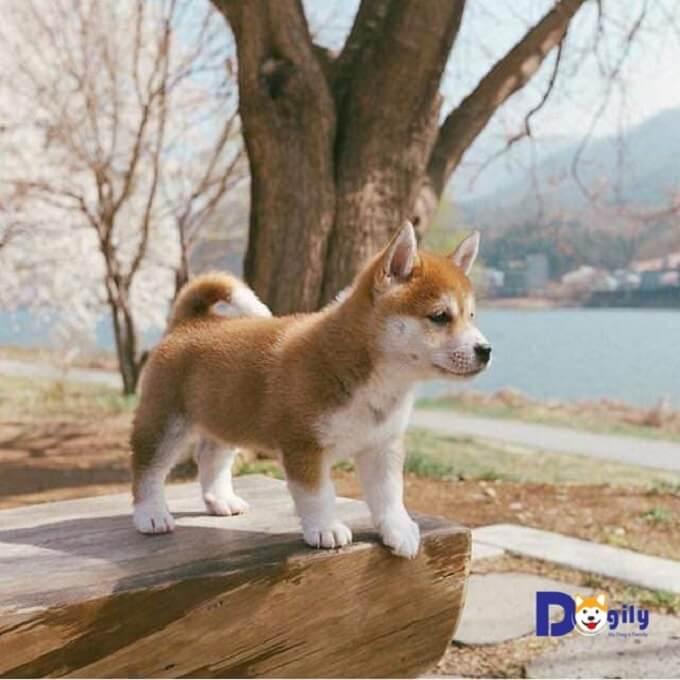 Shiba Inu và Akita Inu là hai giống chó cùng được công nhận là Di sản tự nhiên quốc gia của Nhật Bản