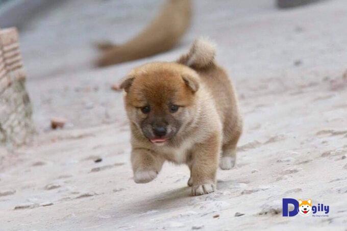 Chó Shiba Inu cũng như hầu hết các loại chó khác đều cần được xã hội hóa từ khi còn nhỏ.