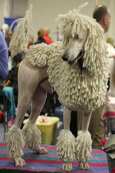 Hoặc có thể cắt tỉa chó poodle standard sát thân như này...