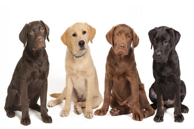 Các màu sắc cơ bản của chó Labrador retriever