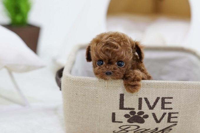 Chó teacup poodle tương đối hiếm nên giá thường cao hơn rát nhiều so với Toy và tiny poodle