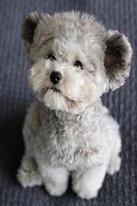 Chó poodle màu xám thường đắt hơn do tương đối hiếm