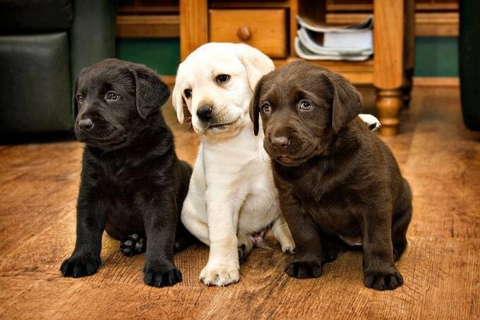 Ba màu cơ bản của chó labrador: sô cô la, đen tuyền và kem
