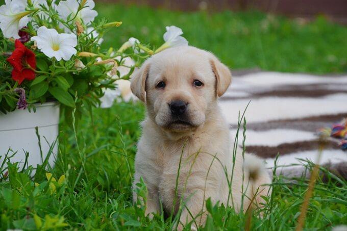 Một em Labrador màu vàng kem