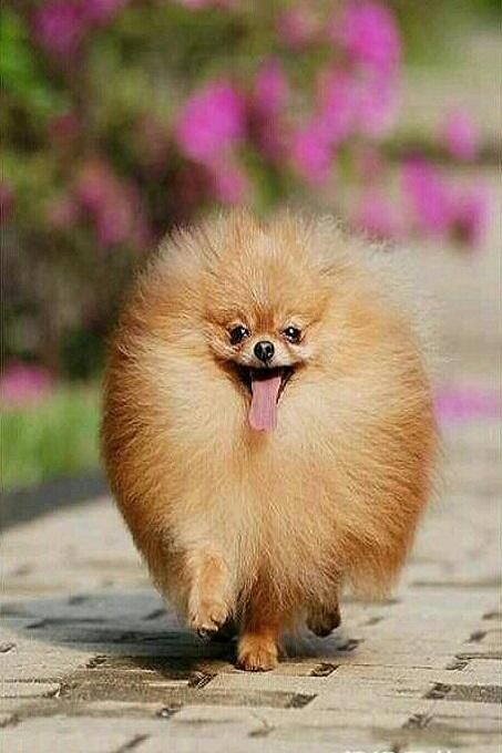 Chó phốc sóc ngày nay đã thu nhỏ hơn rất nhiều so với tổ tiên xa xưa của mình