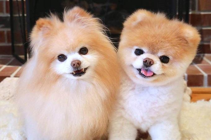 Hai chú chó phốc sóc siêu đáng yêu