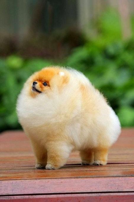 Một chú chó phốc sóc được chăm sóc bộ lông cực cẩn thận