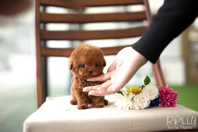 Chủ nhân cần rất nâng niu khi chơi với chó poodle size nhỏ như teacup