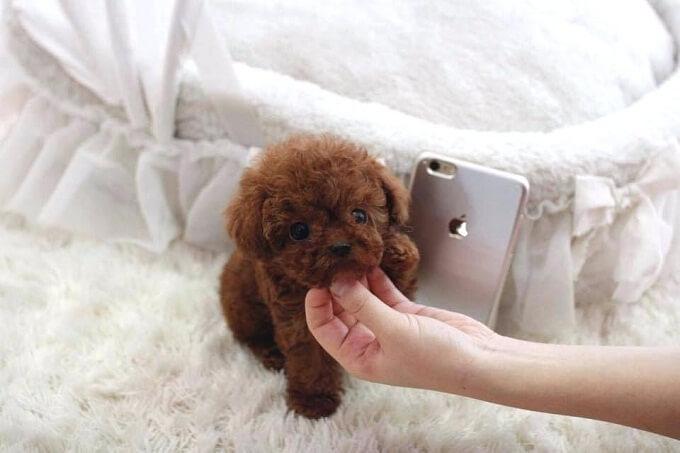 Chế độ dinh dưỡng cho từng size chó poodle là rất khác nhau