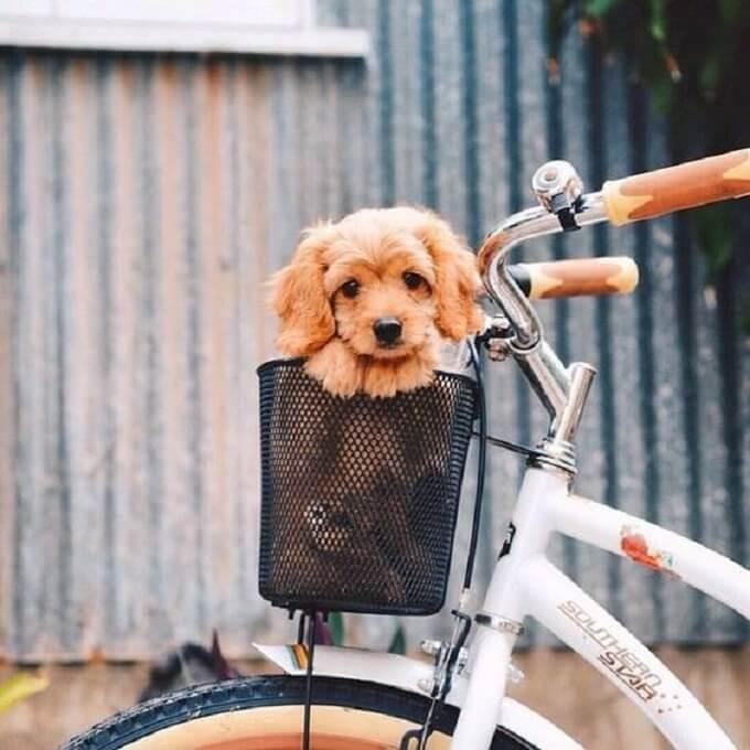 Môi trường sống của chó poodle